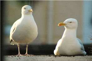 Two gulls, called Gwella and Treen, Falmouth, Cornwall. Photo Falmouth_17175