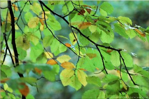Leaves, Forest of Dean | ForestofDean_3722