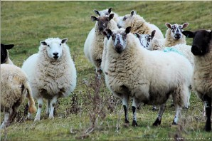 Welsh Sheep | Powys_6354